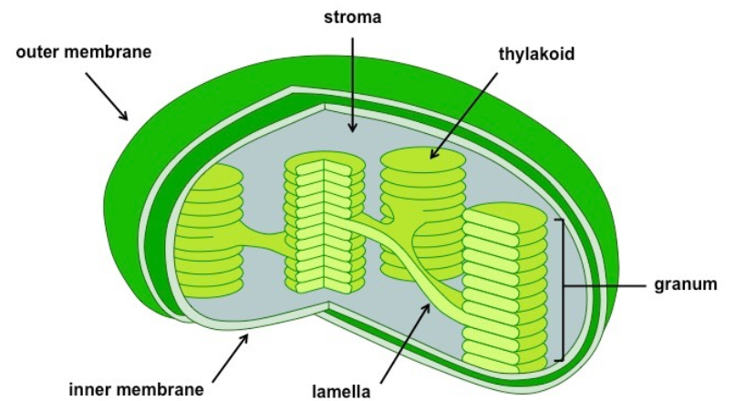 Do bacteria have chloroplast?